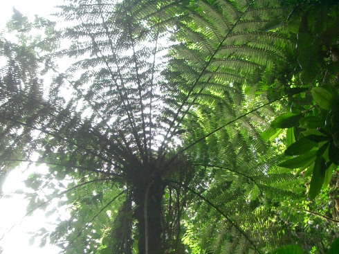 Color photo of a giant fern tree in the rainforest