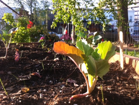 Baby broccoli plant emerges from the earth in an urban oasis.