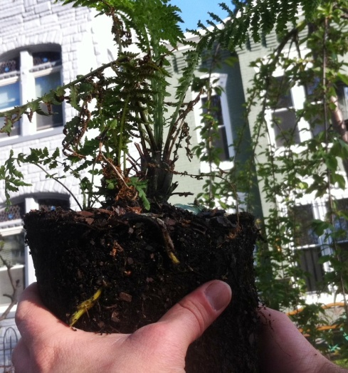 Hands holding a fern about to be planted.