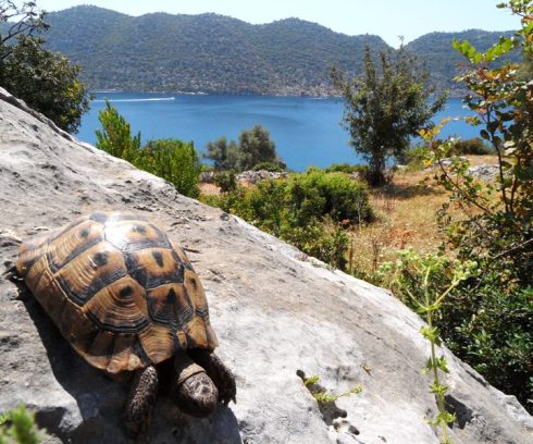 Color photo of the land tortoise overlooking a Sea view