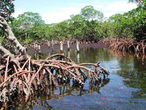 Mangrove forest in color
