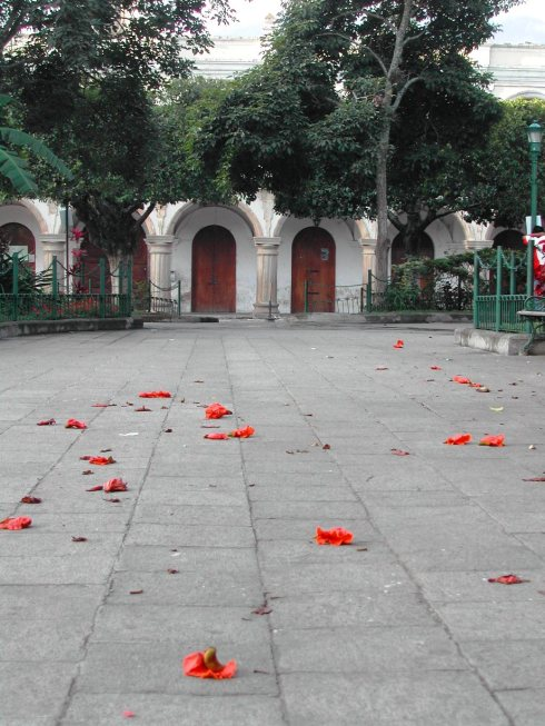 Fallen Flowers in Streets of Antigua