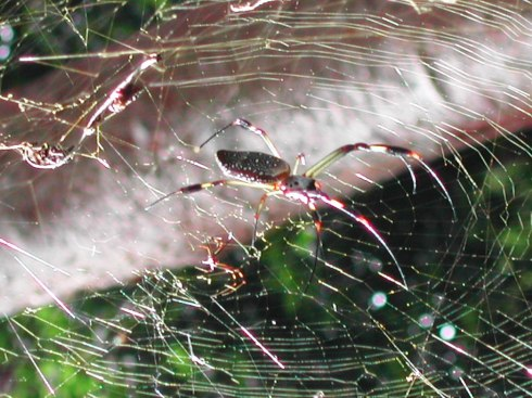 Complex Weavings of a Golden Orb Spider