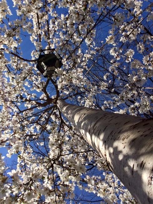Fountain Cherry in DC